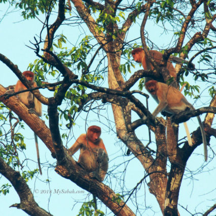Group of wild Proboscis Monkey in Kinabatangan