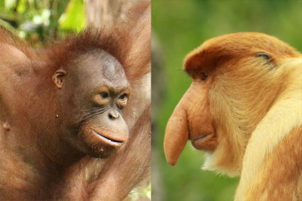 Orangutan Vs Proboscis Monkey