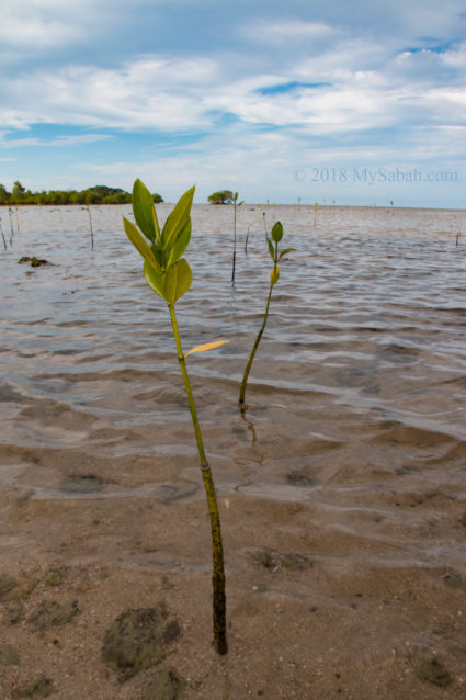 Mangrove seedling