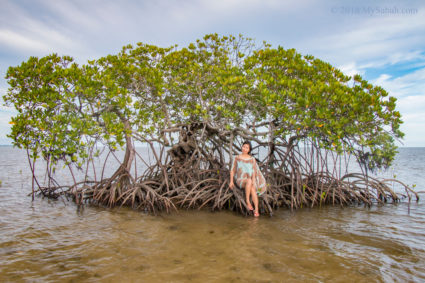 Beautiful mangrove tree