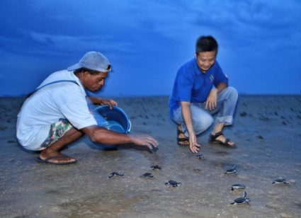 Releasing baby turtles to the wild