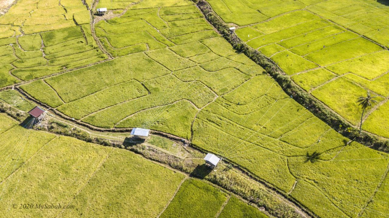 Paddy field of Kota Belud