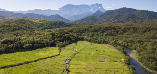 Green paddy field under Mount Kinabalu