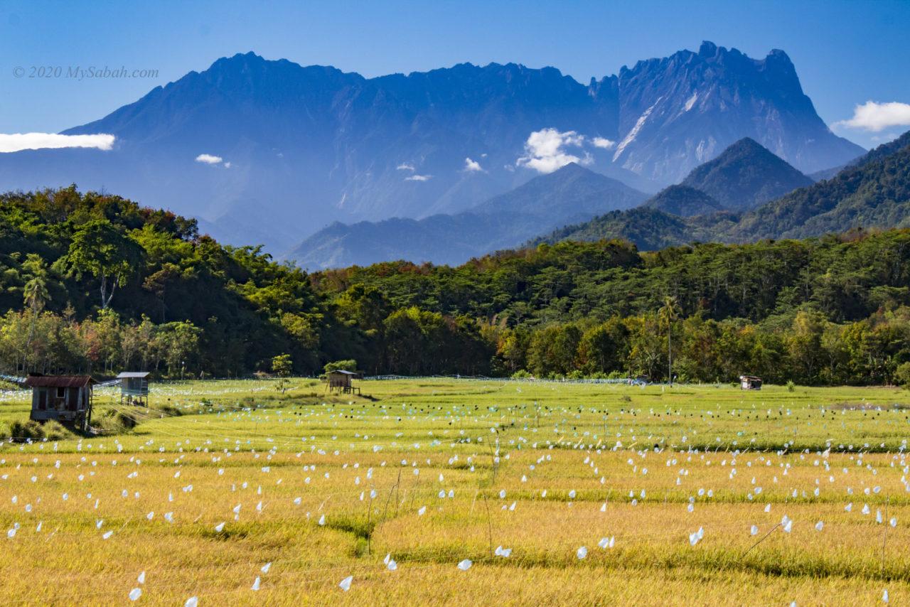 Mount Kinabalu and paddy field