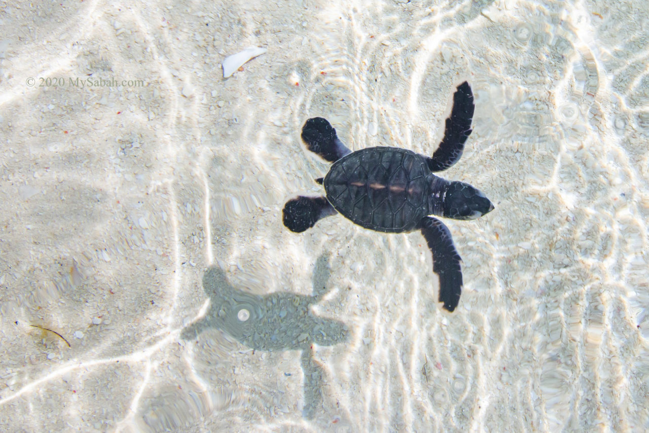 Baby turtle swimming in the sea