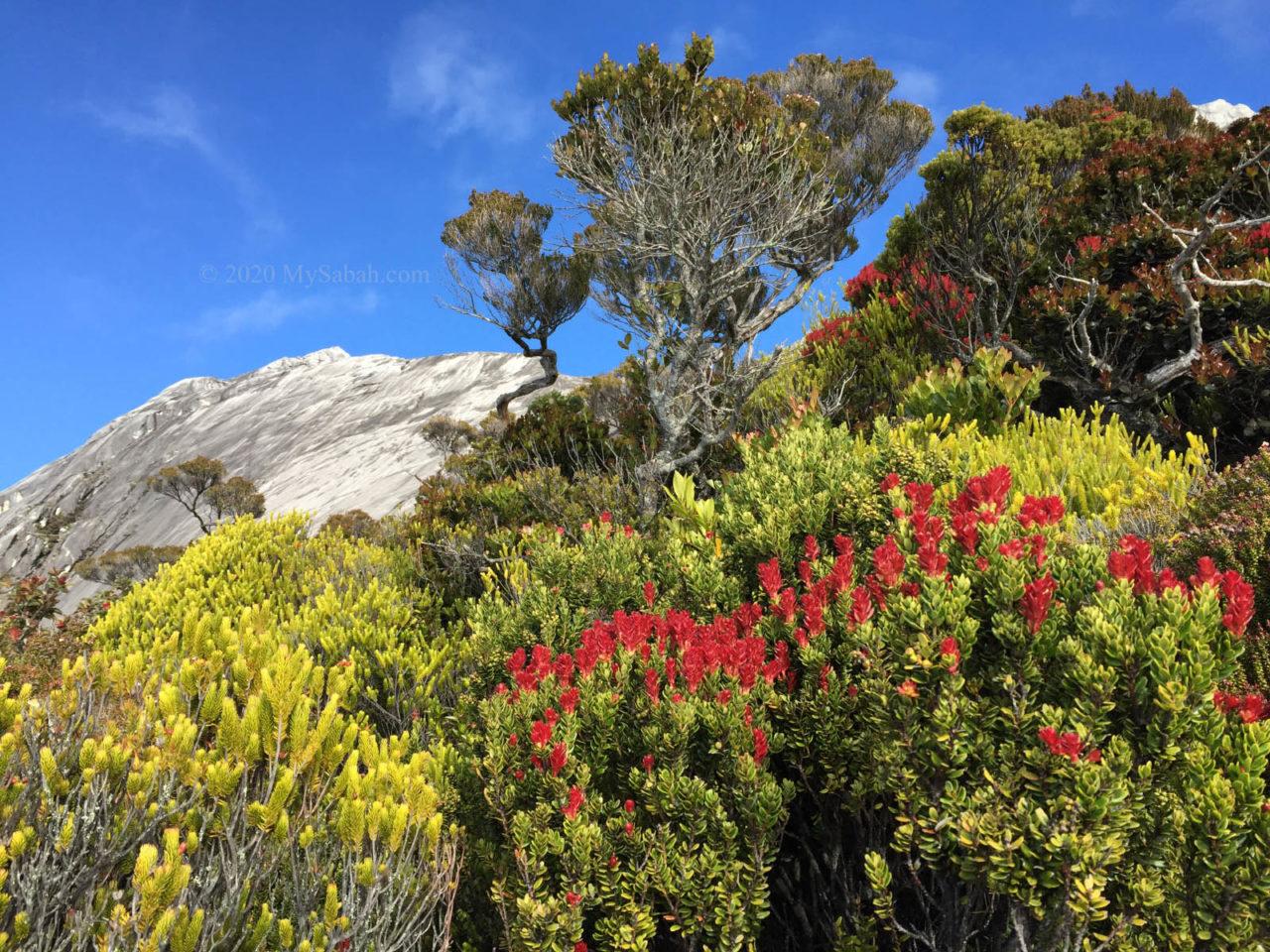 Subalphine scrubs on Mount Kinabalu